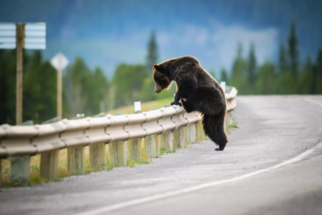 Spotting a Bear on an Alberta Road Trip | BCM Inns