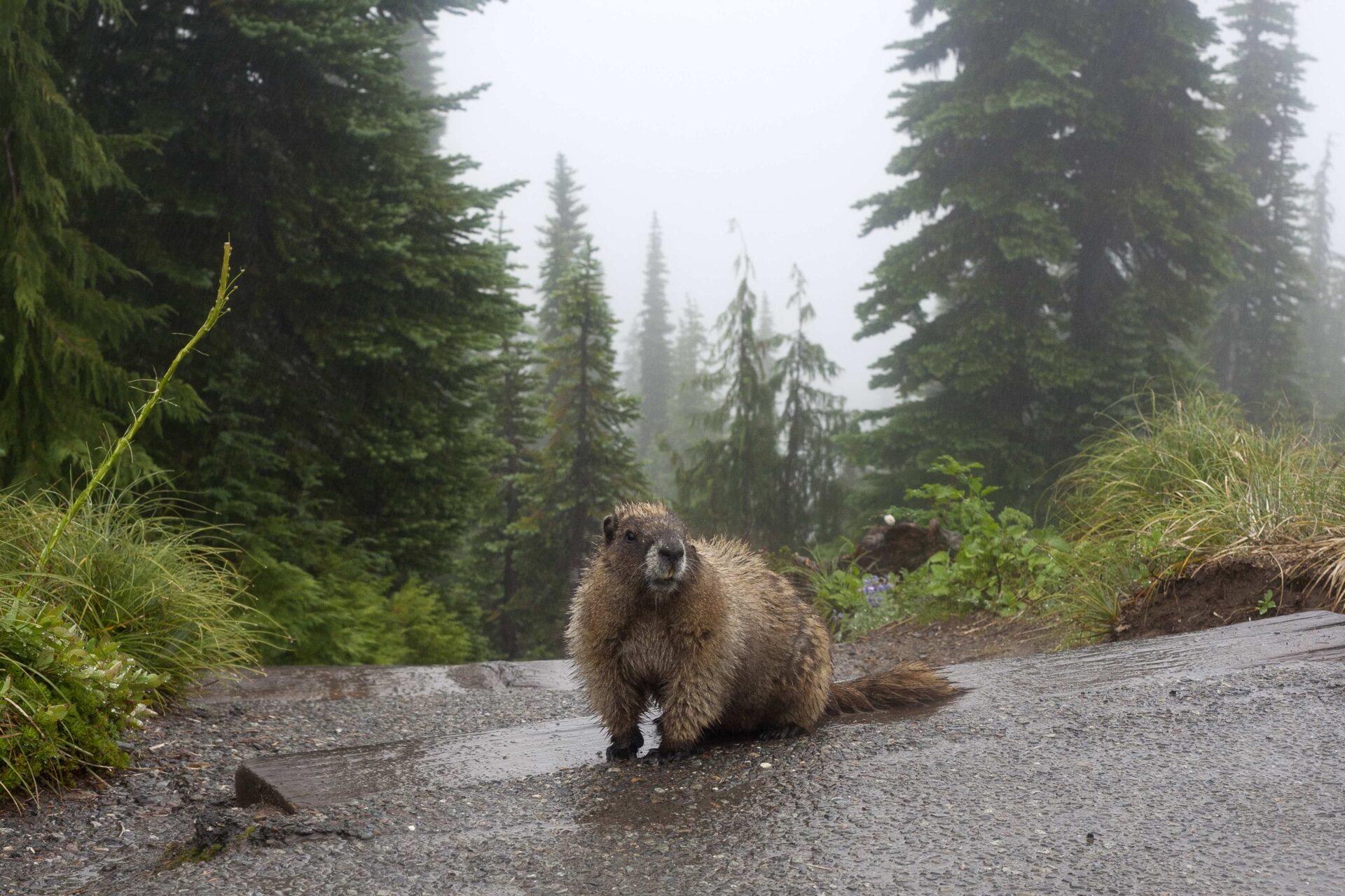 Beaver in a park trail Hinton